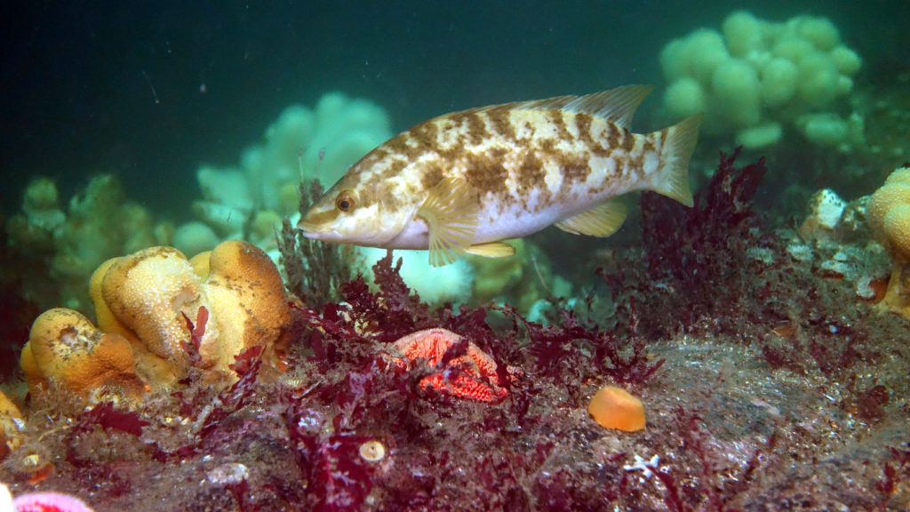 Ballan wrasse and soft corals. Photograph: Howard Wood.