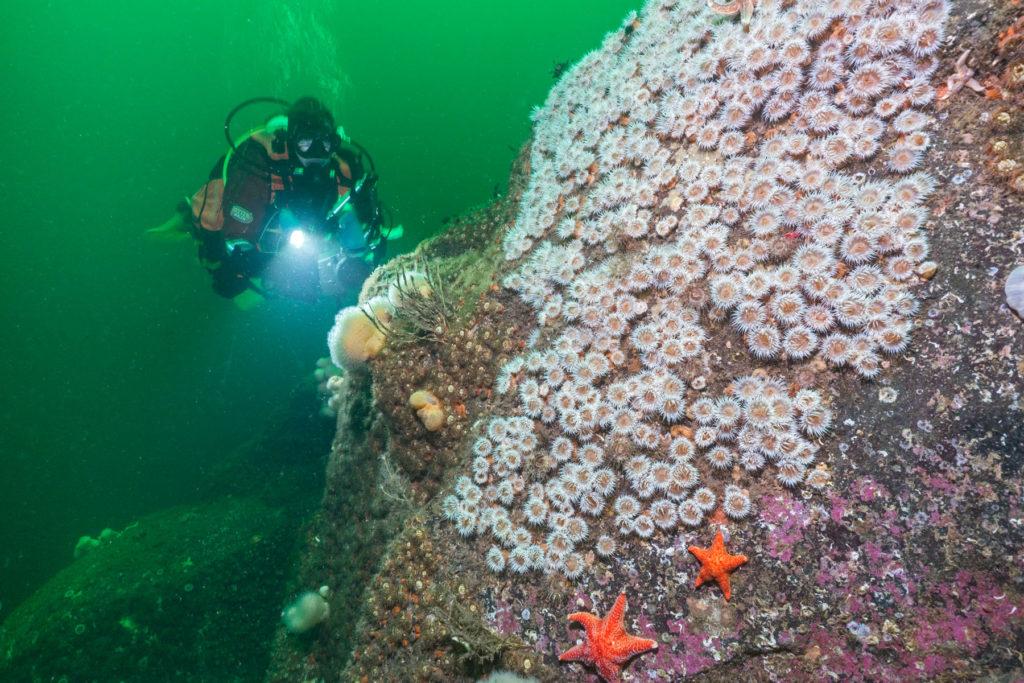 A diver and elegant anemones at Roraima Reef. Photograph: Paul Kay.