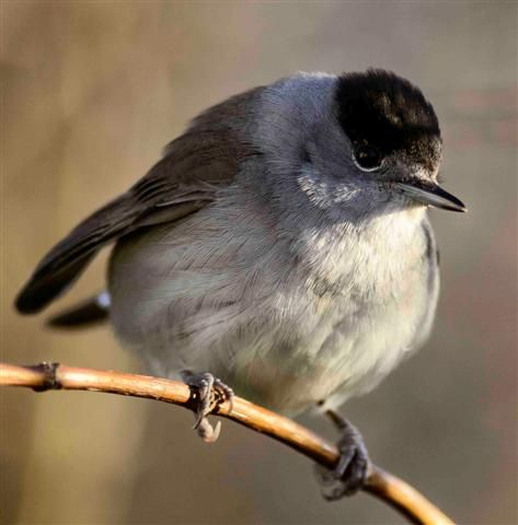 Blackcap three reports this year - none last year. Photo Brian Couper