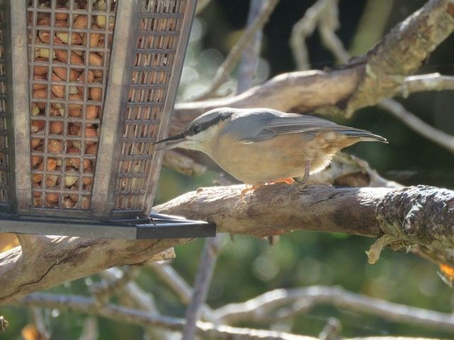 Nuthatch first ever report on Arran during weekend. Photo David Kilpatrick