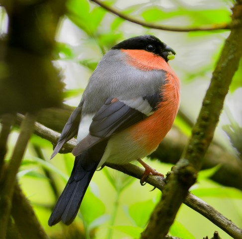 Bullfinch, one of the species flocking together on Arran in January. Photograph: Dennis Morrison.