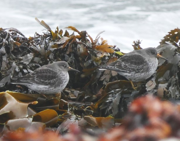 Purple sandpiper, a winter visitor on Arran. Photograph: Howard Sargeant.