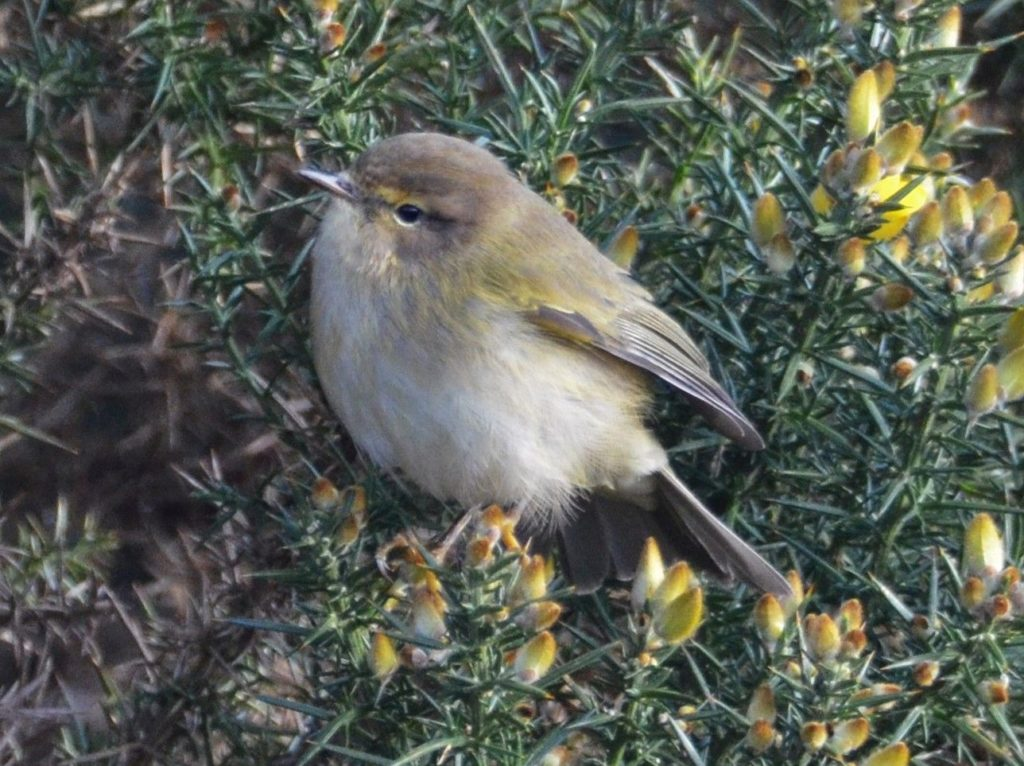 Chiffchaff a familiar summer visitor, rarely overwinters this far north. Photo Arthur Duncan