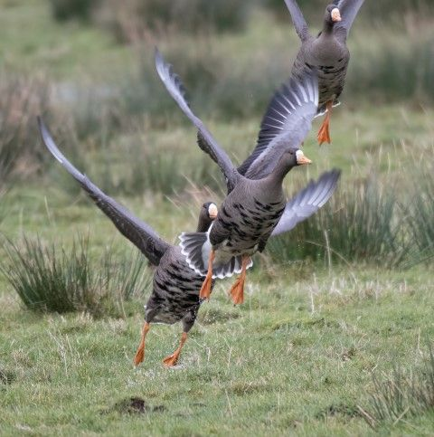 White-fronted goose, a well framed photograph of this occasional winter visitor. Photo Alex Penn