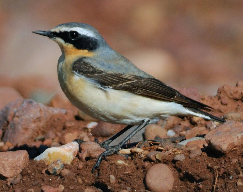 Wheatear is one of the first spring migrants to arrive. Photo Dennis Morrison
