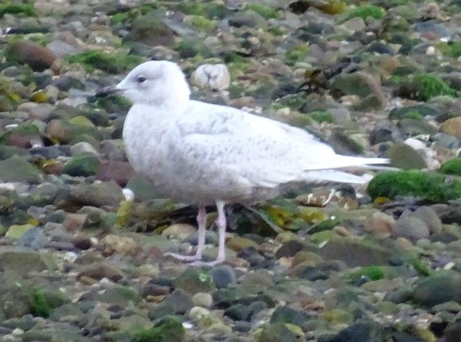 Iceland gull is one of the lingering winter visitors. Photo Colin Cowley