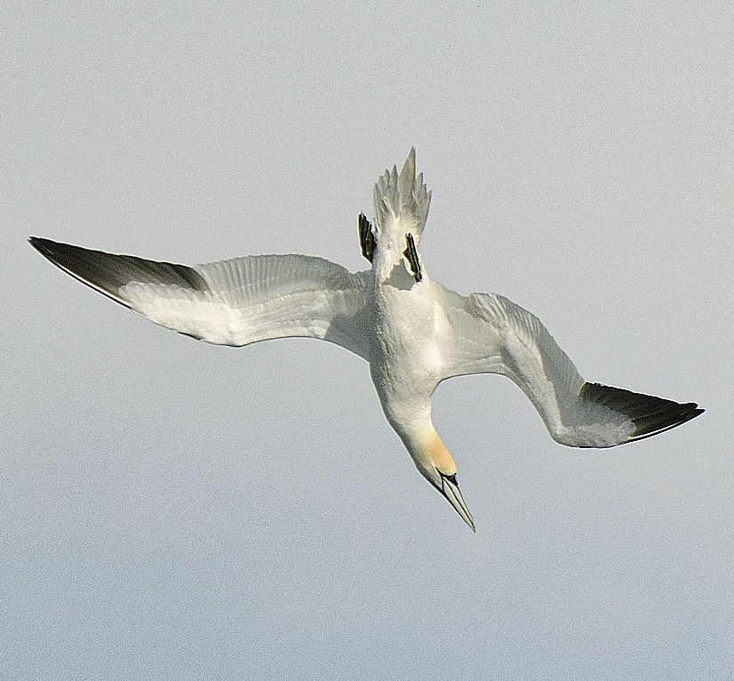 Gannet numbers built up slowly in March. Photo Brian Couper
