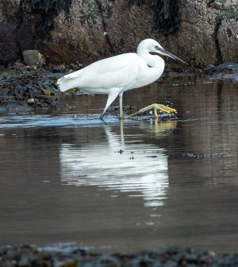 Little egret, a long staying bird first reported on 20 October. Photo Nick Giles
