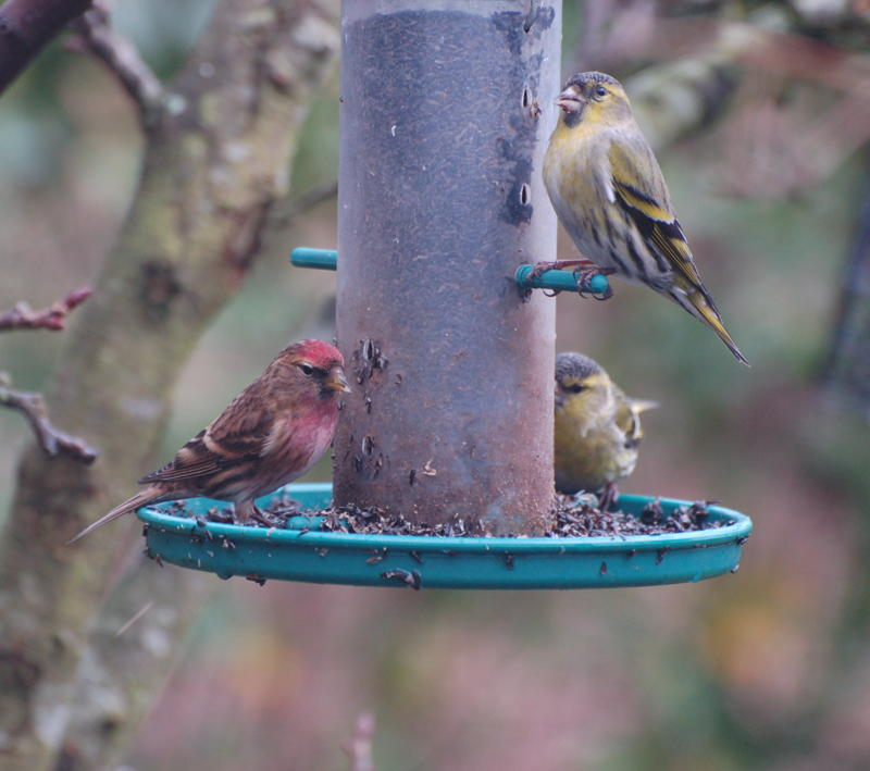 Siskin and lesser redpoll have featured in widespread reports of these species passing through gardens in April. Photograph: Fiona Laing.