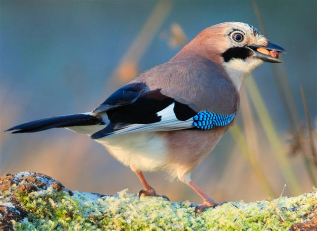 Jay, the last Arran record of this species was in 2012. Photograph: Dennis Morrison.