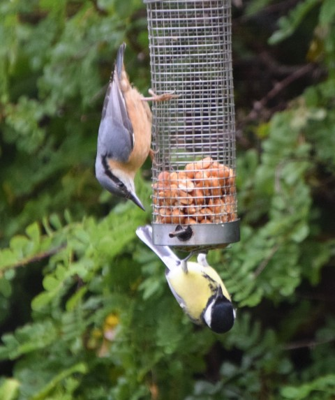 The over wintering bird, the nuthatch, seems to have left the island. Photograph: Michael Burke.