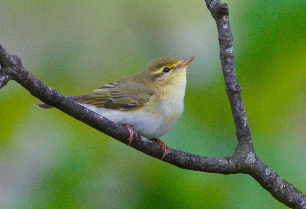 Wood warbler, a summer visitor which winters south of the Sahara. Photograph: John Forbes.