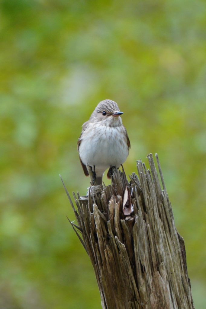 Spotted flycatcher, another summer visitor spotted on Arran. Photograph: John Forbes.