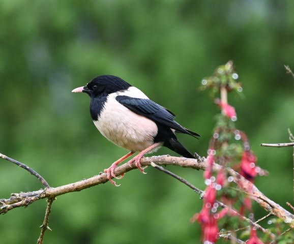 Another rosy starling was photographed by Richard Godfrey in Lamlash.
