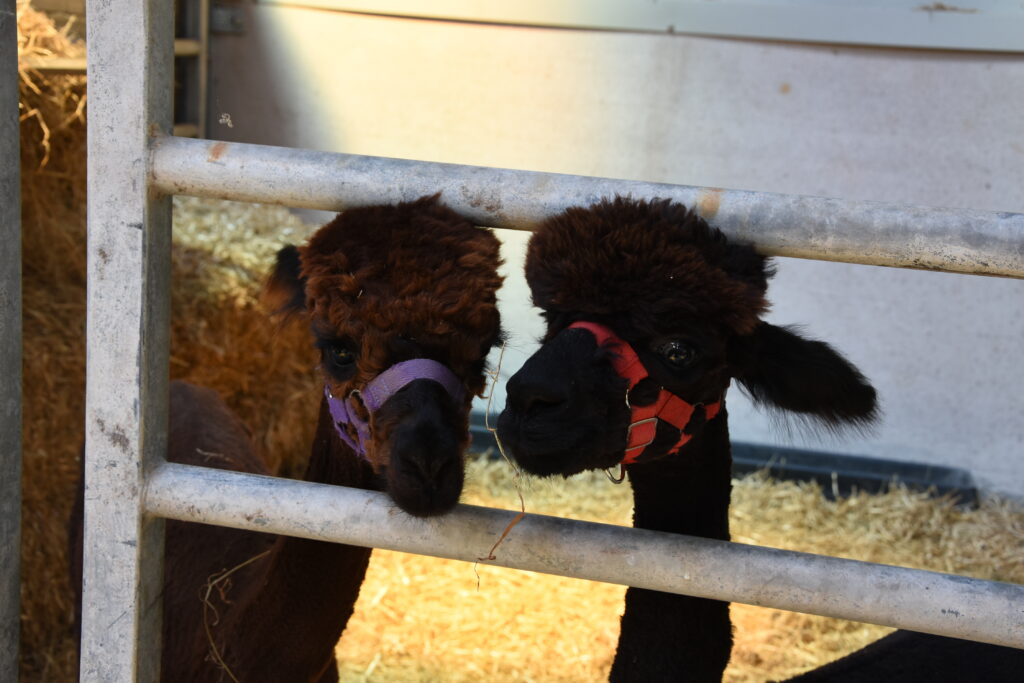 The year-old alpacas Pablo and Charlie.