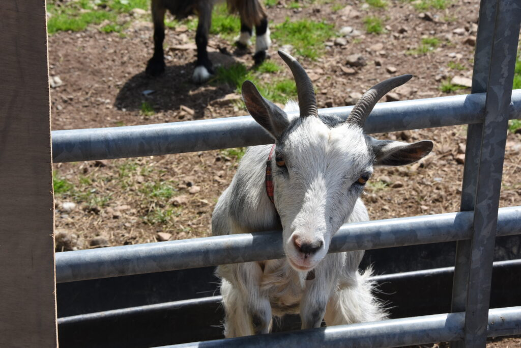 A goat takes a keen interest in the camera.