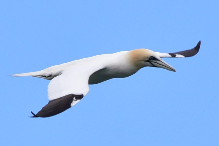 There have been fewer sightings of gannet round Arran in June, perhaps because of the algal bloom. Photograph: Helen Logan.