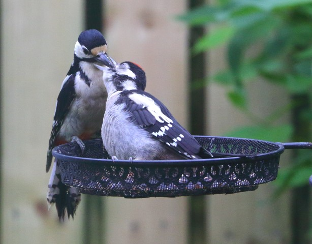 Great spotted woodpecker are now well established on Arran. Photograph: Dave Russell.