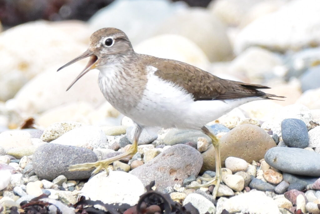 Common sandpiper, one of the shore, ground nesting birds sometimes disturbed by dog walkers. Photograph: Helen Logan.