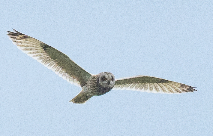Some of the short-eared owls that were tagged on Arran last year are breeding in Europe this year. Photograph: Nick Giles.