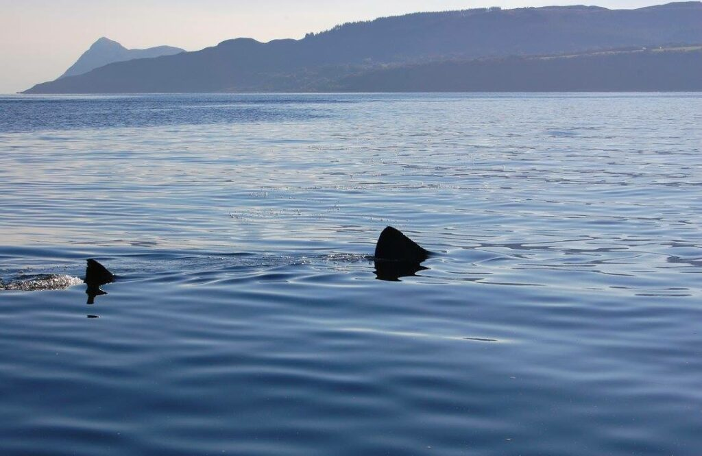 Basking Shark. Photograph: Jenny Stark.