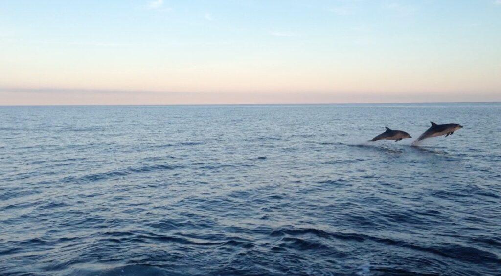 Bottlenose dolphin. Photograph: Clyde Porpoise.