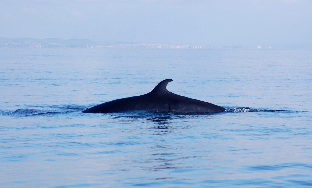 Minke Whale. Photograph: Jenny Stark.