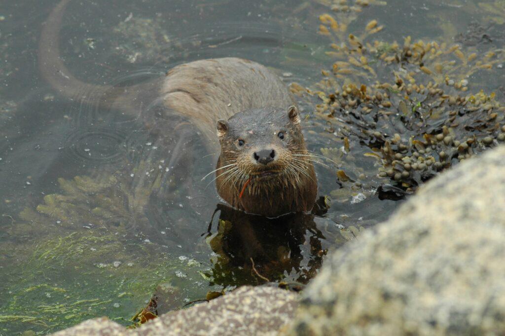 Otter. Photograph: Jenny Stark.