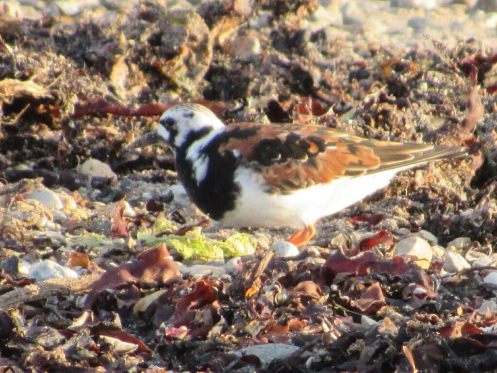An Arctic breeding bird which will be heading south, a turnstone in breeding plumage. Photograph: Simon Davies.