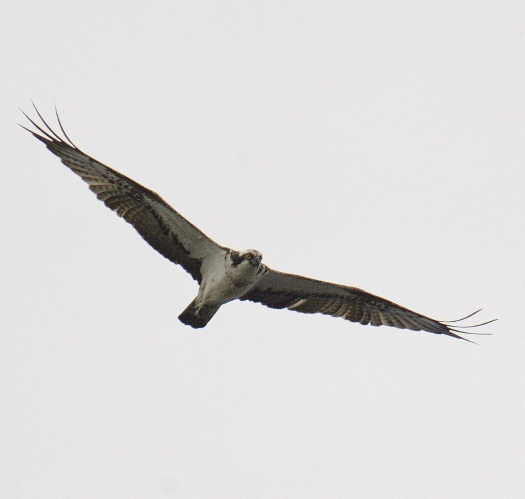 Another one of the July highlights was an osprey. Photograph: Brian Couper.