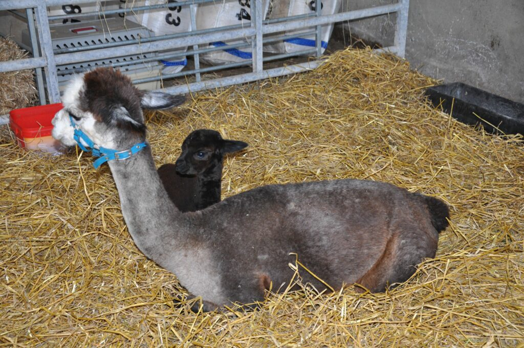 The newest member at Bellevue farm is an, as-yet unnamed, baby alpaca.