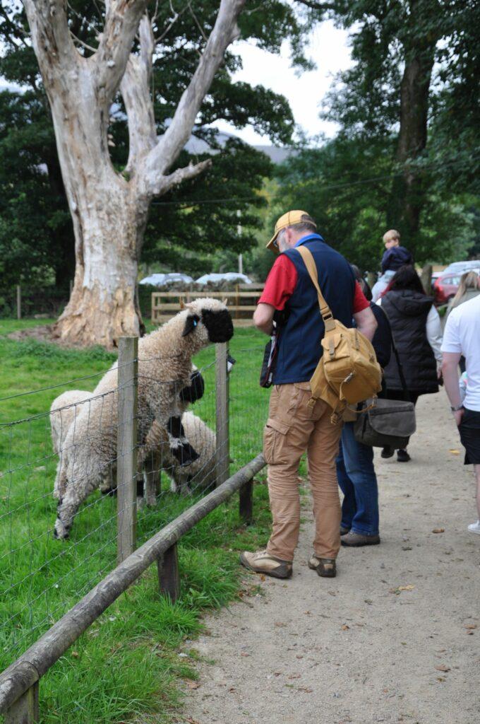 Black face sheep greet the visitors at Arran Alpacas.