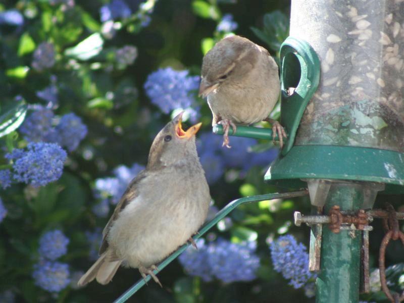 House sparrow had a very successful breeding season.