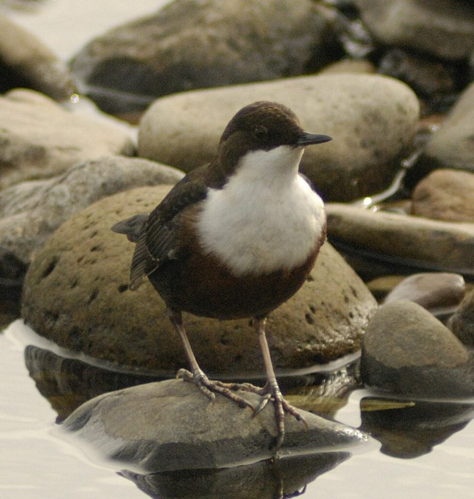 Dipper, one of more than 100 species seen in August. Photo Brian Couper
