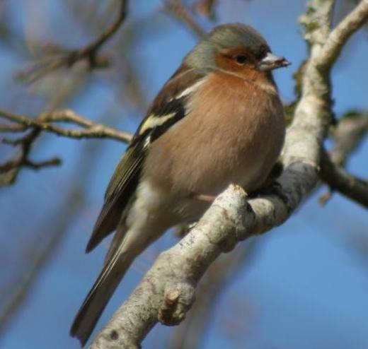Arran bird watch finds chaffinch is most common garden bird