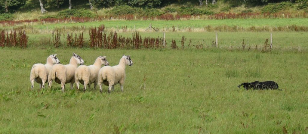 Nursery sheep dog trial results
