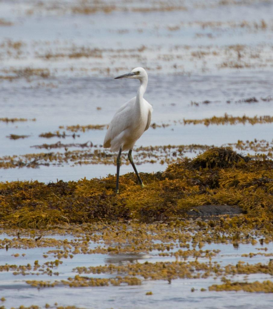 Little egret a highlight of October migration