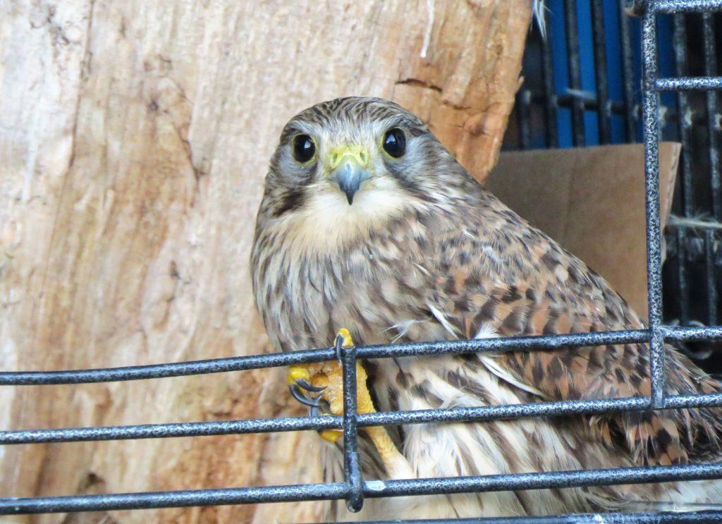 Kestral goes hunting after nursed back to full health