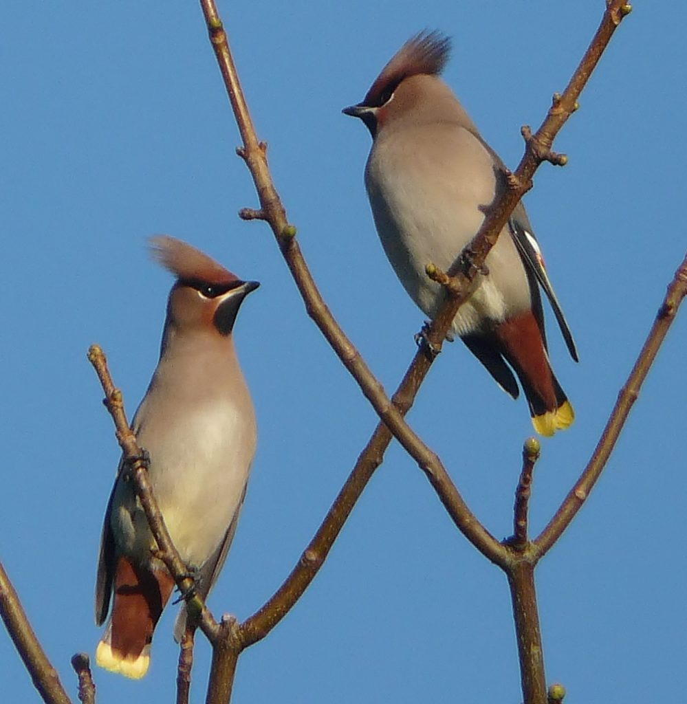 Will we see an influx of winter waxwings?
