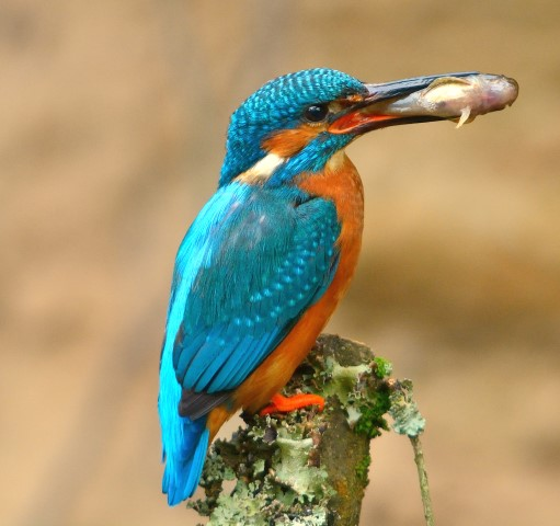 Kingfisher insights on Arran