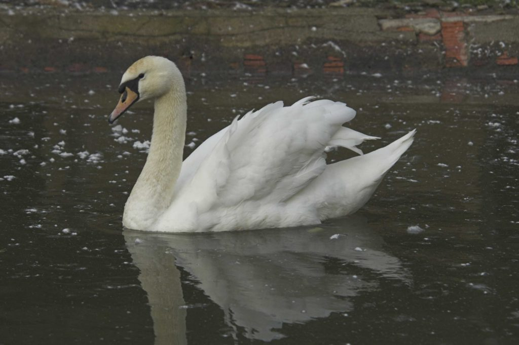 Don't rescue swans 'stuck' in ice