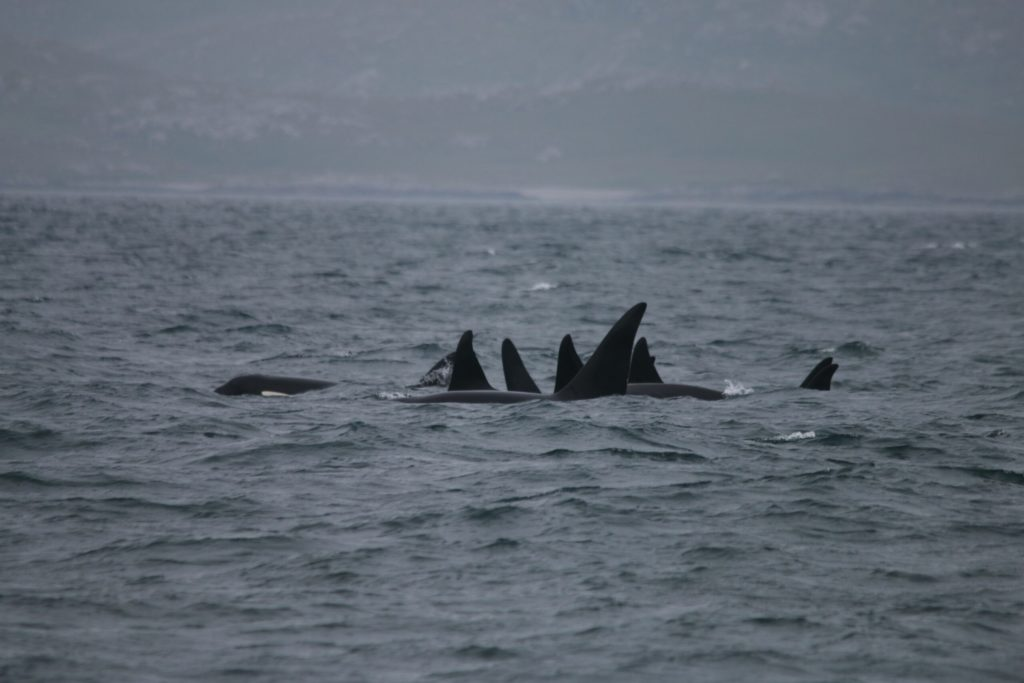 Three-year enigma of 'Scottish' killer whales solved
