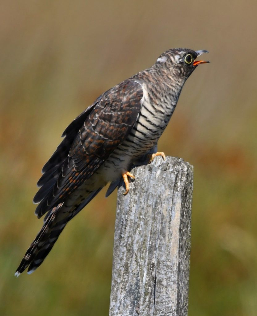 Time to migrate as breeding season comes to an end