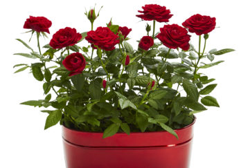 Tea roses in red zinc plant pot