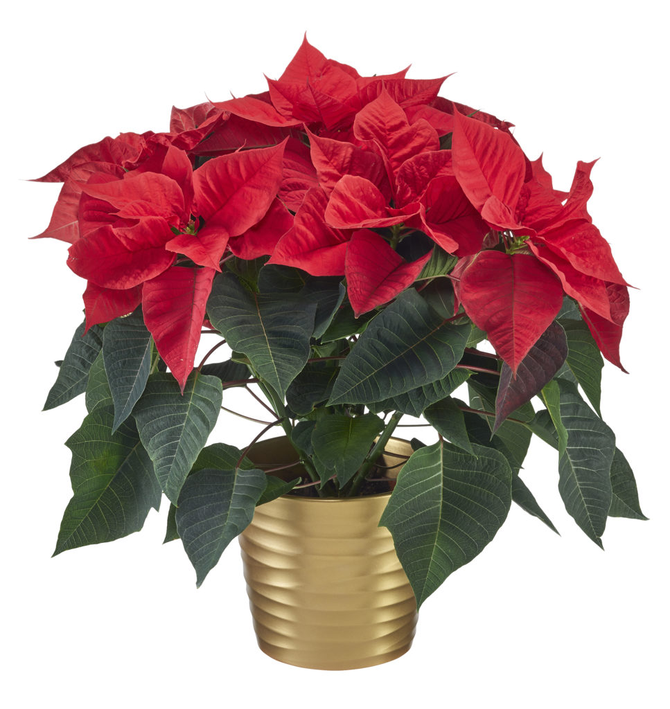 Poinsettia in gold pot