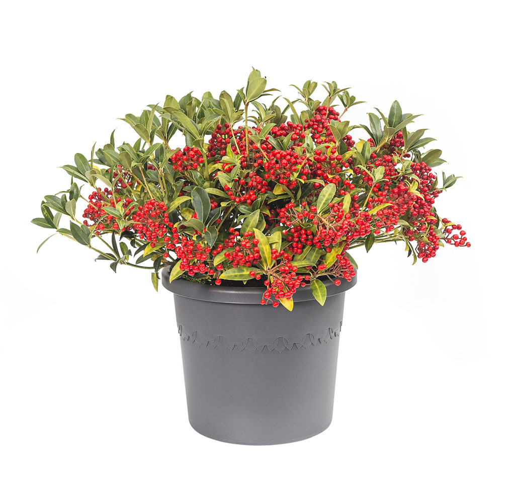 algarve cillindro anthracite holly with red berry pot plant combination
