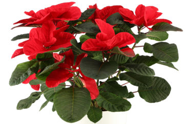 Mouse ear poinsettia in white ceramic pot, leaves are rounded instead of usual pointed shape