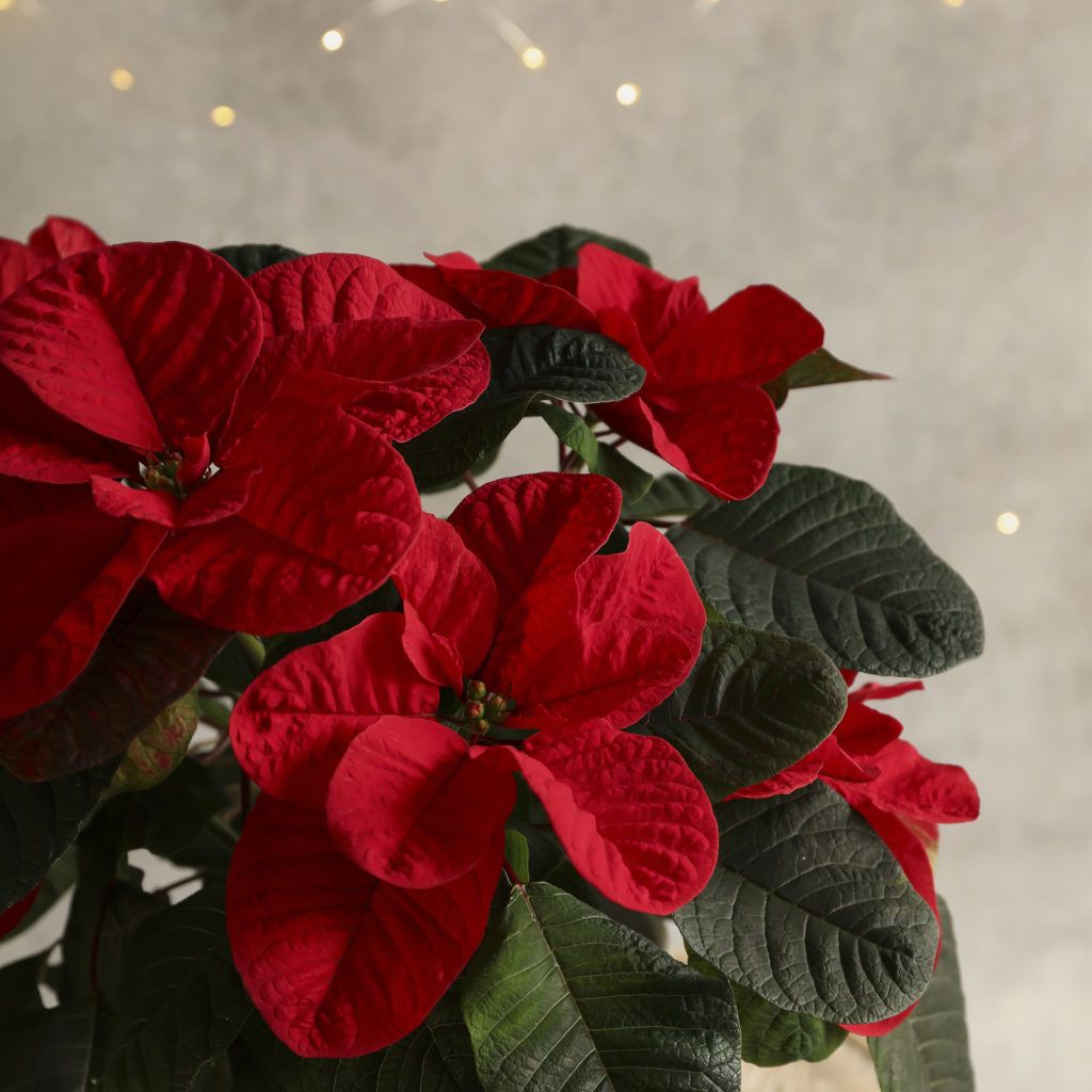 Close up of mouse poinsettia, fairy lights behind