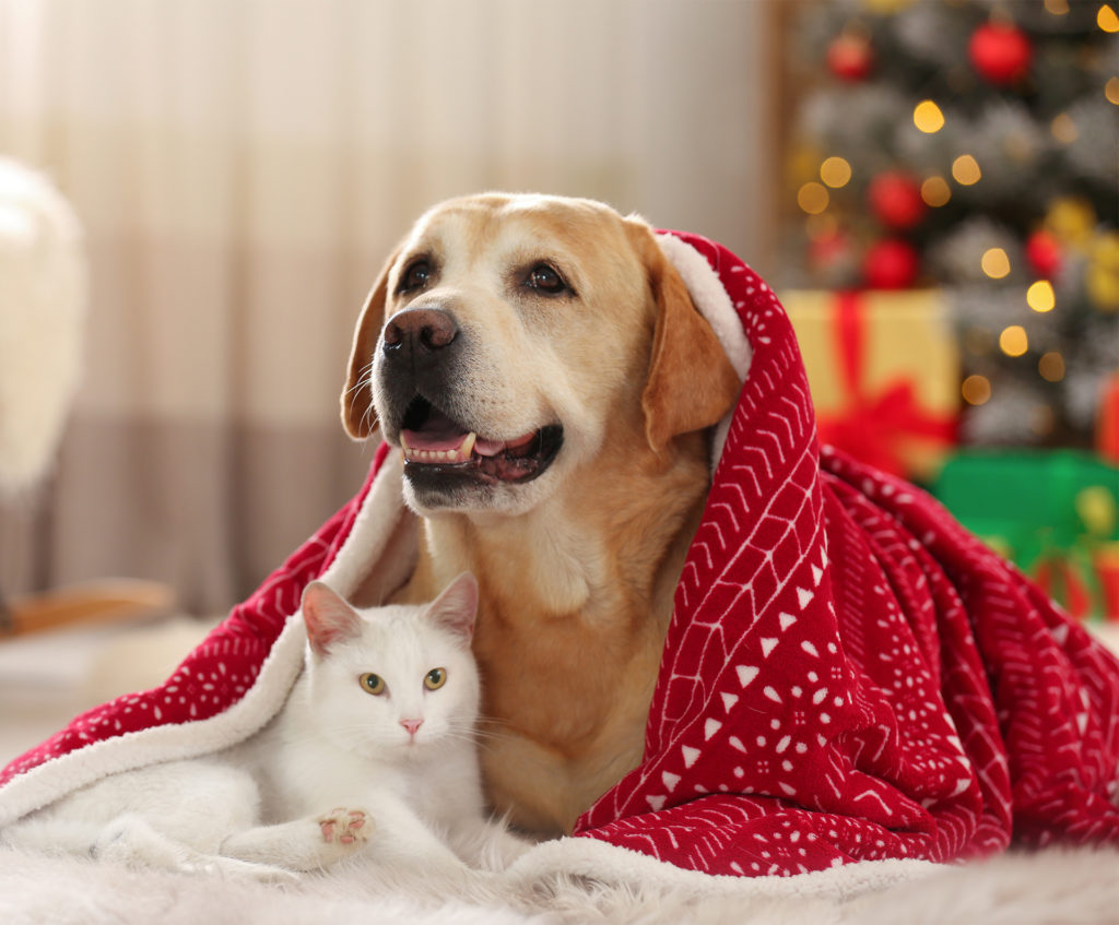 Golden labrador and white cat cuddled up, looking at camera, with red blanket over dog's back, Christmas tree in background