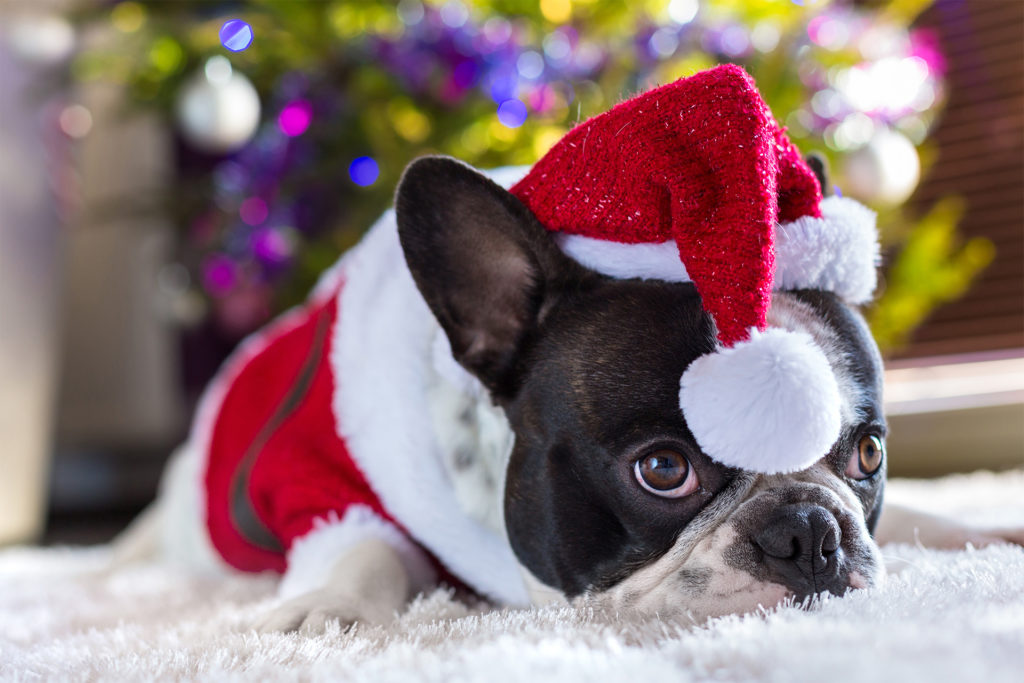 Grumpy looking french bulldog lies under tree in Santa outfit